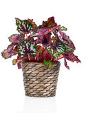 Begonia plant Royalty Free Stock Photo