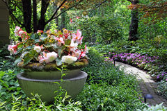 Begonia plantator obraz stock