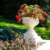 Begonia Planter royalty free stock images