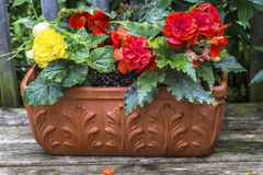 Begonia Planter Stock Photography