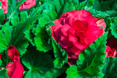 Begonia plants blooming in the garden Stock Photos