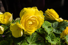 Begonia plants blooming in the garden Stock Photo