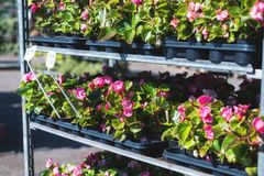 Begonia plants with flowers in pots Royalty Free Stock Image