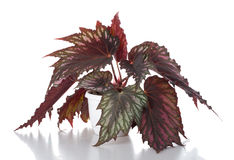 Begonia in pot Stock Image