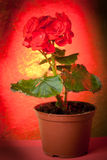 Begonia in Pot Royalty Free Stock Photography