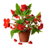 Begonia in pot. Red blooming begonia in pot in pot  on white background Stock Images