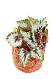 Begonia in pot Stock Images