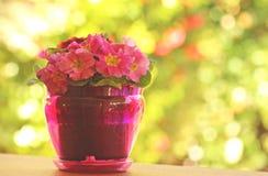 Begonia in pot Stock Photos