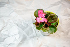 Begonia pot on the wrinkle white paper background Stock Photo