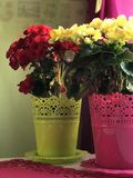 Begonia Red and yellow colo. R is on the table. grows in pots. decoration home interior royalty free stock images