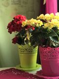 Begonia Red and yellow colo. R is on the table. grows in pots. decoration home interior stock photography