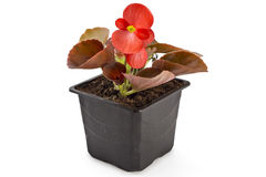 Begonia. Red young garden wax begonia flowers with leaves, Begonia semperflorens-cultorum, in flowerpot on white background stock images