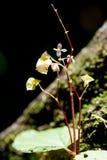 Begonia in regenwoud Thailand Stock Afbeeldingen