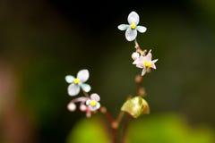 Begonia in regenwoud Thailand Royalty-vrije Stock Afbeeldingen