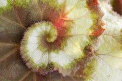 Begonia Rex-Blattbeschaffenheitshintergrund, hybride Art Schnecke Stockfoto