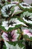Begonia rex cultorum Royalty Free Stock Photography