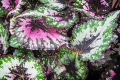 Begonia rex. Begonia is a genus of perennial flowering plants in the family Begoniaceae Royalty Free Stock Photos