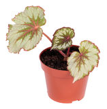 Begonia rex. Houseplant in plastic pot, isolated on white background royalty free stock photo