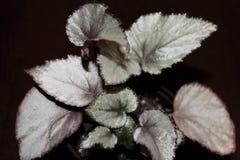 Begonia Rex Morning Dew sur la fin foncée de fond  photo libre de droits