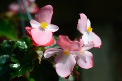 BEGONIA Richmondensis ROSE Photographie stock libre de droits