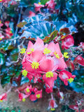 Begonia rode bloem Stock Afbeelding