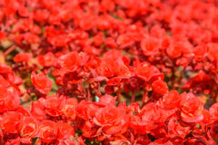 Begonia roja Imágenes de archivo libres de regalías