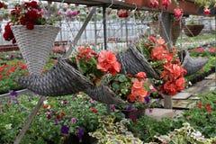 Begonia roja Cestas hechas punto de madera con las begonias coloreadas Flores de la primavera y del verano Campo de flores Modelo Imágenes de archivo libres de regalías
