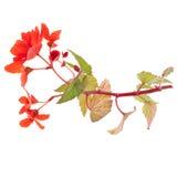 Begonia roja hermosa Imagen de archivo libre de regalías