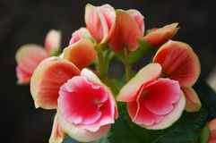 Begonia. A room begonia bloomed bright pink colours Stock Photography