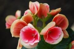 Begonia Stock Photography