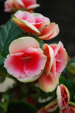 Begonia. A room begonia bloomed bright pink colours Stock Photo