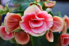 Begonia. A room begonia bloomed bright pink colours Stock Image