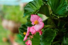 Begonia rosada Fotografía de archivo libre de regalías