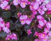Begonia rosada Imagen de archivo