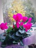 Begonia rosada de la flor del color fotos de archivo