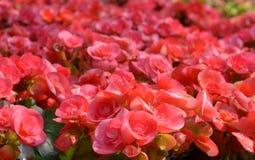 Begonia rosada de la floración Imagenes de archivo