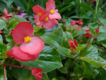 Begonia rossa Fotografia Stock