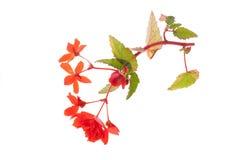 Begonia rossa Fotografie Stock Libere da Diritti