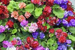 Begonia's Stock Foto
