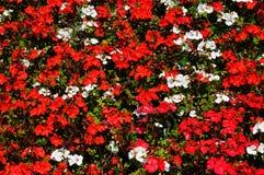 Begonia's en Ooievaarsbek Stock Foto's