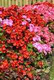 Begonia`s pink and red flowers blooming Royalty Free Stock Photography