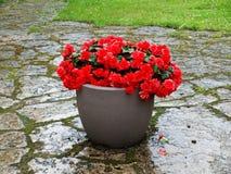 Begonia's in potten in openlucht Royalty-vrije Stock Fotografie