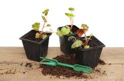 Begonia seedlings royalty free stock photography