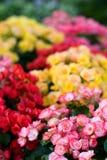Begonia Semperflorens Royalty Free Stock Image