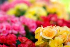 Begonia Semperflorens Royalty Free Stock Images
