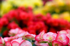 Begonia Semperflorens Stock Photos