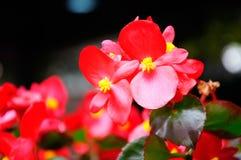 Begonia Semperflorens Royalty-vrije Stock Foto's