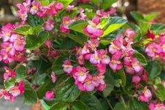 Begonia Semperflorens. Royalty Free Stock Photo