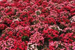 Begonia Semperflorens floral background Royalty Free Stock Images