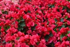 Begonia Semperflorens  Stock Photography